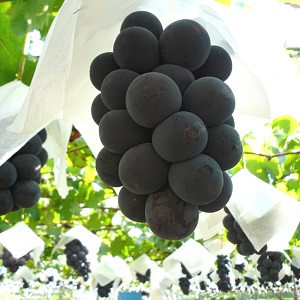美味しいブドウができました。